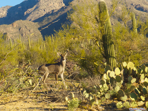Coues deer | by hmclin