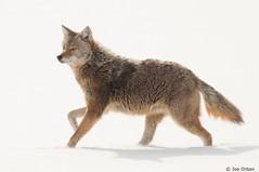 "Coyote in January by vidular ""Joe"""