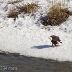 Bald Eagle by Carcass