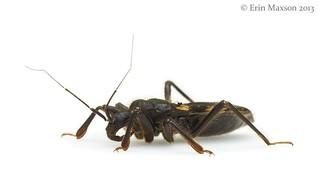 Belize assassin bug 3