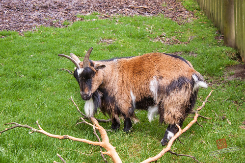 Goat at Dartmoor Zoo | by Richard Perry
