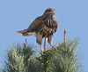 young Harris's Hawk by NatureNM
