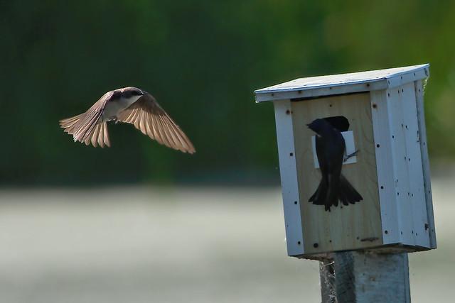 Hirondelle bicolore -- --- Tree swallow -- --- Golondrina bicolor