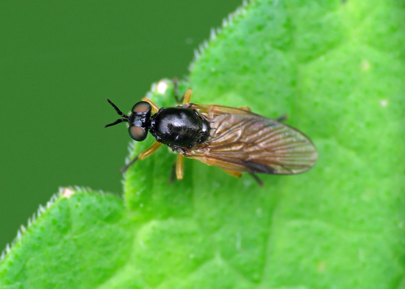 Common Orange Legionnaire - Beris vallata