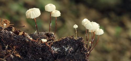 Marasmius rotula   by Rocky Houghtby