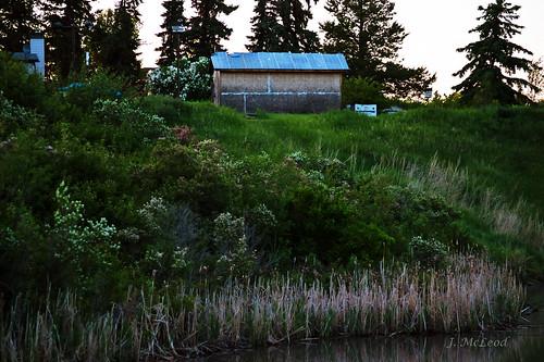 summer gardens alberta ponds castor blooming wildroses bulrushessunset