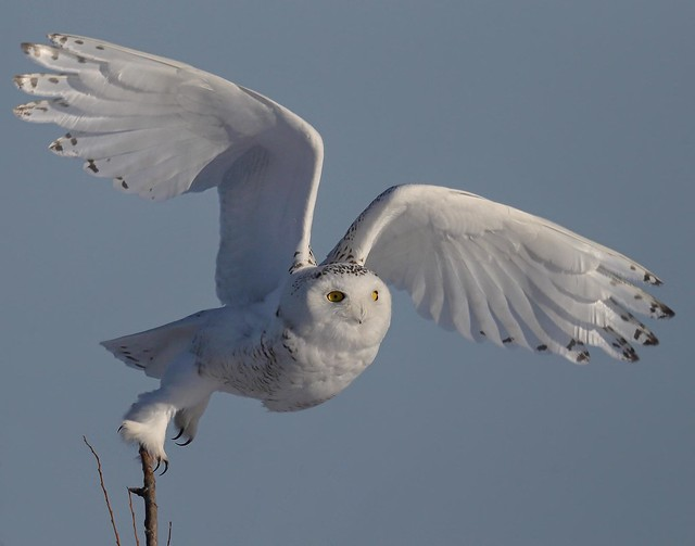 Snowy taking off.