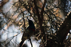 Sunbird in shadow
