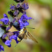 Flickr photo 'Narrow-bordered Bee Hawkmoth (Hemaris tityus) on Meadow Sage (Salvia pratensis)' by: Bernard DUPONT.