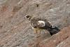 African Harrier-Hawk, Sakania, DR Congo by Terathopius