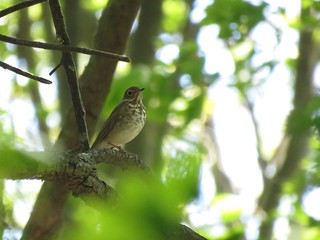 Swainson's Thrush | by Justin L. Lee