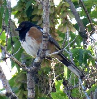 Spotted Towhee | by Allen Gathman