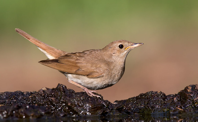 Nightingale [juvenile]