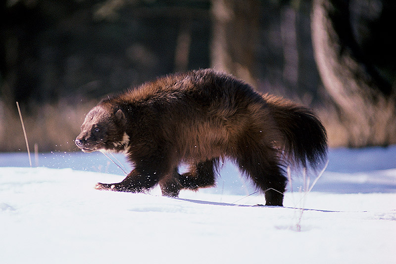 Wildlife in British Columbia, Canada: Wolverine