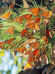Monarch Butterfly Migration, California