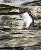 (Southern) Rockhopper Penguins (Eudyptes c. chrysocome) by Mark Carmody