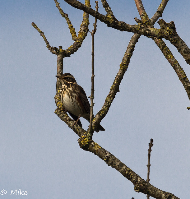 Redwing in the paddock