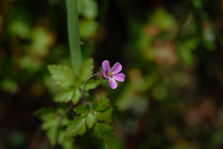 Herb Robert | by PaulG's Photos