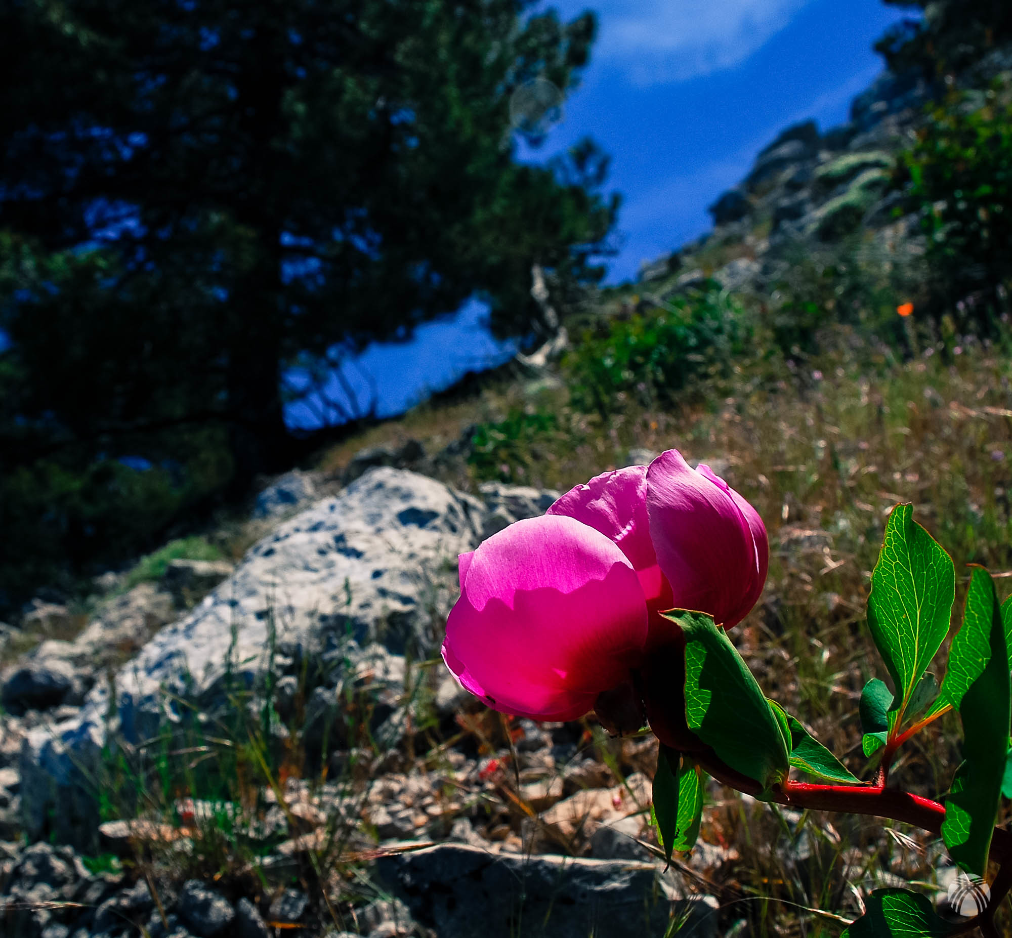 Una peonía en la ladera áspera
