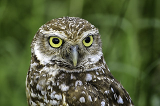 Burrowing Owl Portrait | by Charles Patrick Ewing