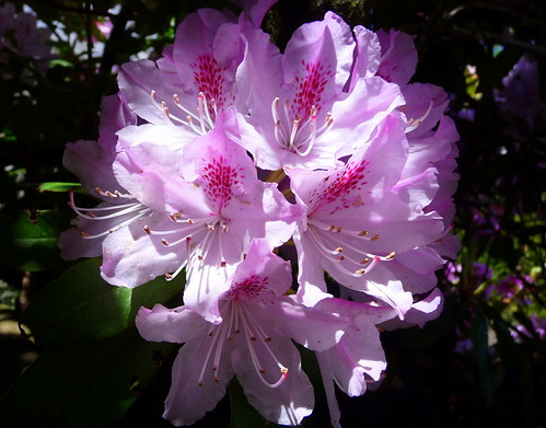 Rhododendrum | by sunchild123