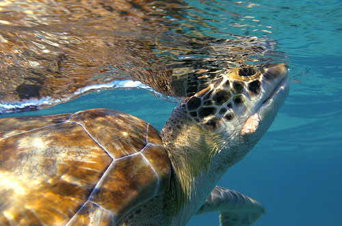 Turtle while Snorkeling | by Culebra Snorkeling & Dive Center