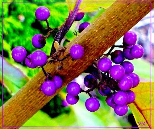 park fall berries purpleberries scenes shrubs fallberries floweringshrubs allberries fallshrubs colourfulshrubs