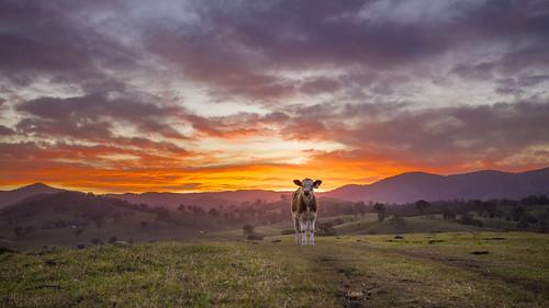 sunset sky cows farm gloucester barrington
