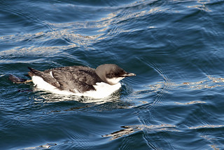 Thick-billed Murre   by D Berard