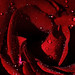 Image: Valentine Rose