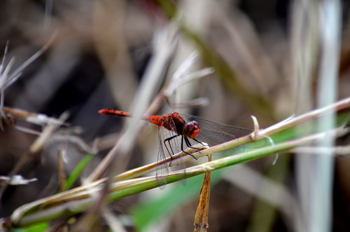 Dragonfly, USC Sippy Downs