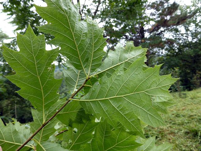 Quercus 'Chocha' (FAGACEAE)