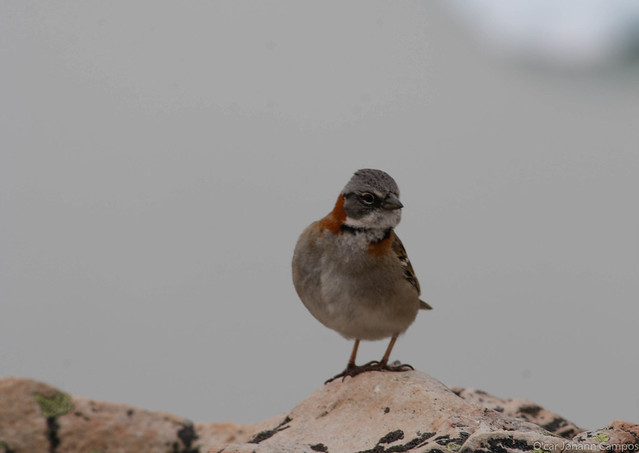 Gorrion - House Sparrow