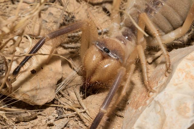 Camel Spider (Solifugid) עכשוב