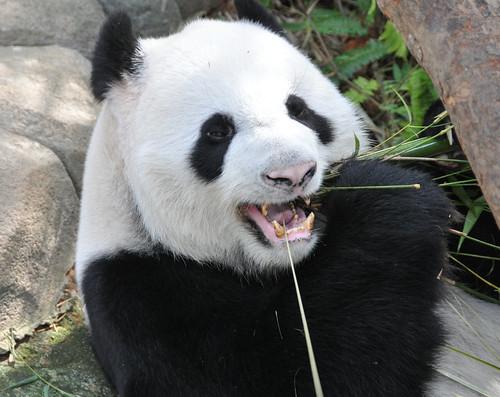 Giant Panda @ Singapore River Safari | by Michael Gwyther-Jones