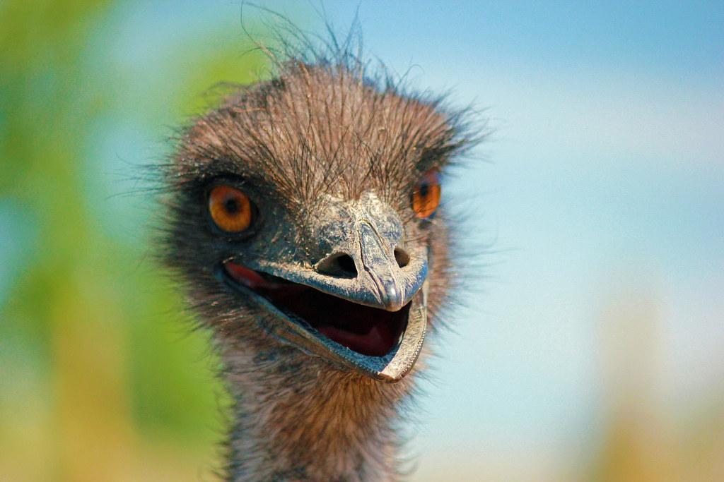 Curious Emu.