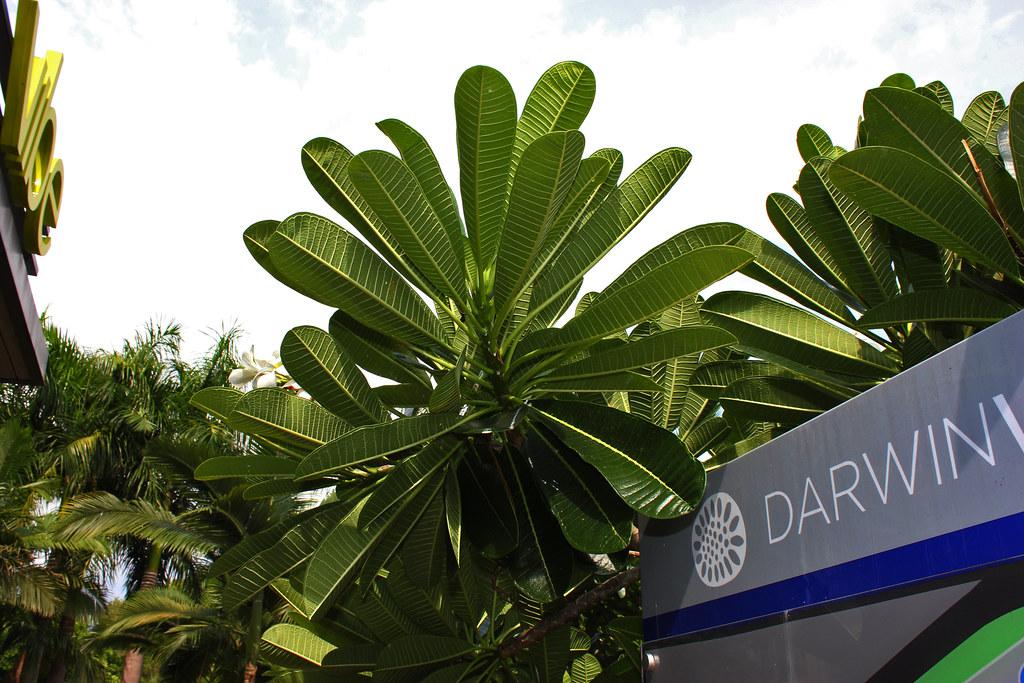 Plumeria syn. Frangipani, Darwin Waterfront Pricinct
