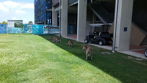 Kangaroos, Sippy Downs campus (2)