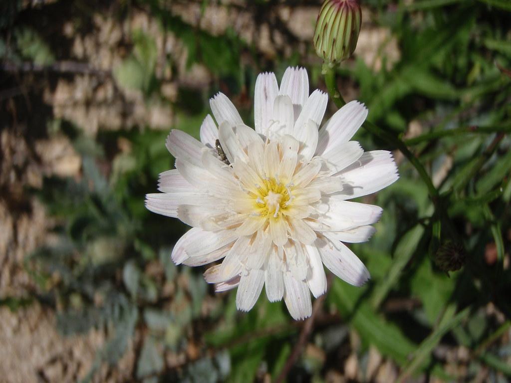 Rafinesquia neomexicana (Desert Chicory)
