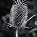 Thistle in Mono by Maxinux40k