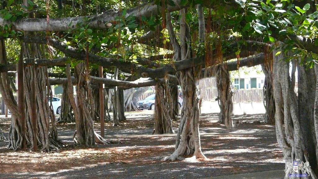 cd592634662 ... Banyan Tree (one tree 2 3 an acre)