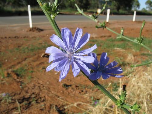 Cichorium intybus flowerhead7 CWS   by Macleay Grass Man