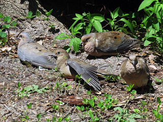 Mourning Doves | by magnificentfrigatebird