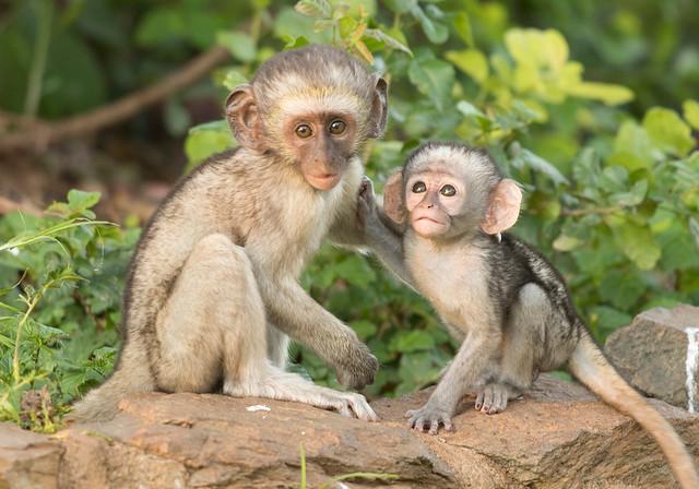 Vervet Monkey, (Explored) Chlorocebus pygerythrus, Turk Mine, Zimbabwe