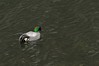 Falcated duck:DSC_9912 by KazKuro