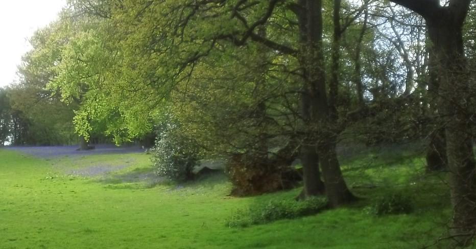 Bluebells in a field Near Redlands Wood