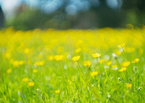 flowers yellow spring bokeh gloucestershire dreamy grassland buttercups wideopen commonland summarit50mmf15