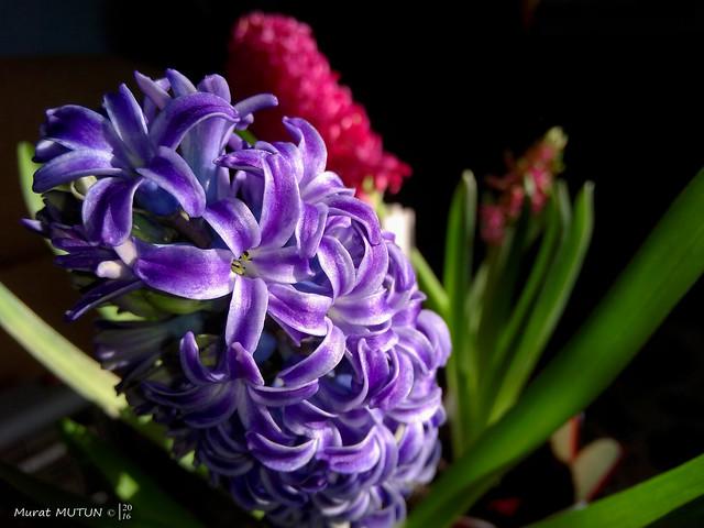 Hyacinth - Sümbül