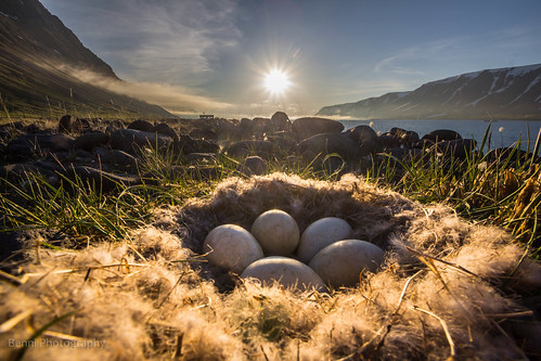 Goose nest in Önundarfjörður - Iceland