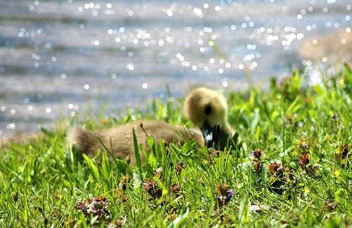 blue green bird water grass pond solitude bokeh bluewater gosling johnstonwarmemorialpark
